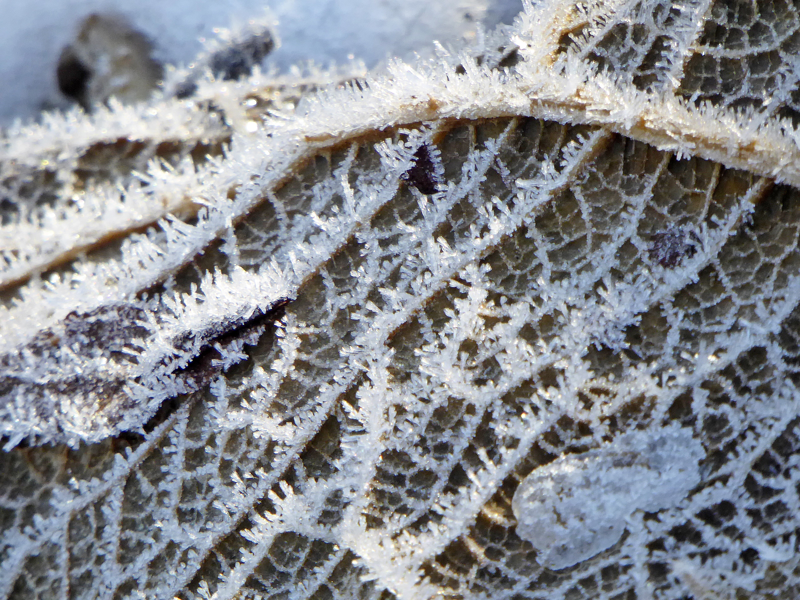Frost on Giant Gunnera
