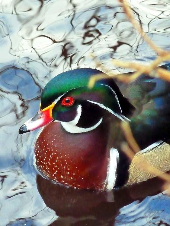 Wood Duck ~ male