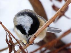 Black-capped chickadee feeding