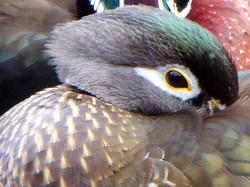 Wood Duck ~ female