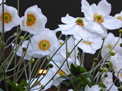 White Cosmos swaying in the breeze