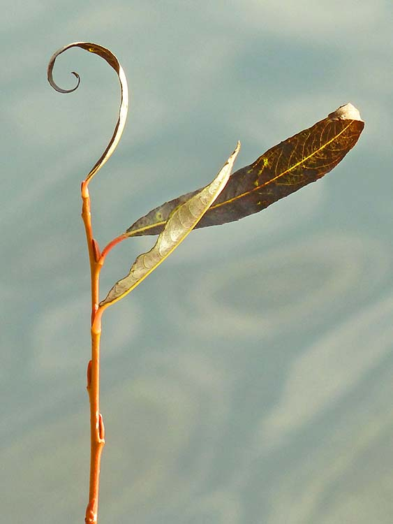 Pacific Willow dancer
