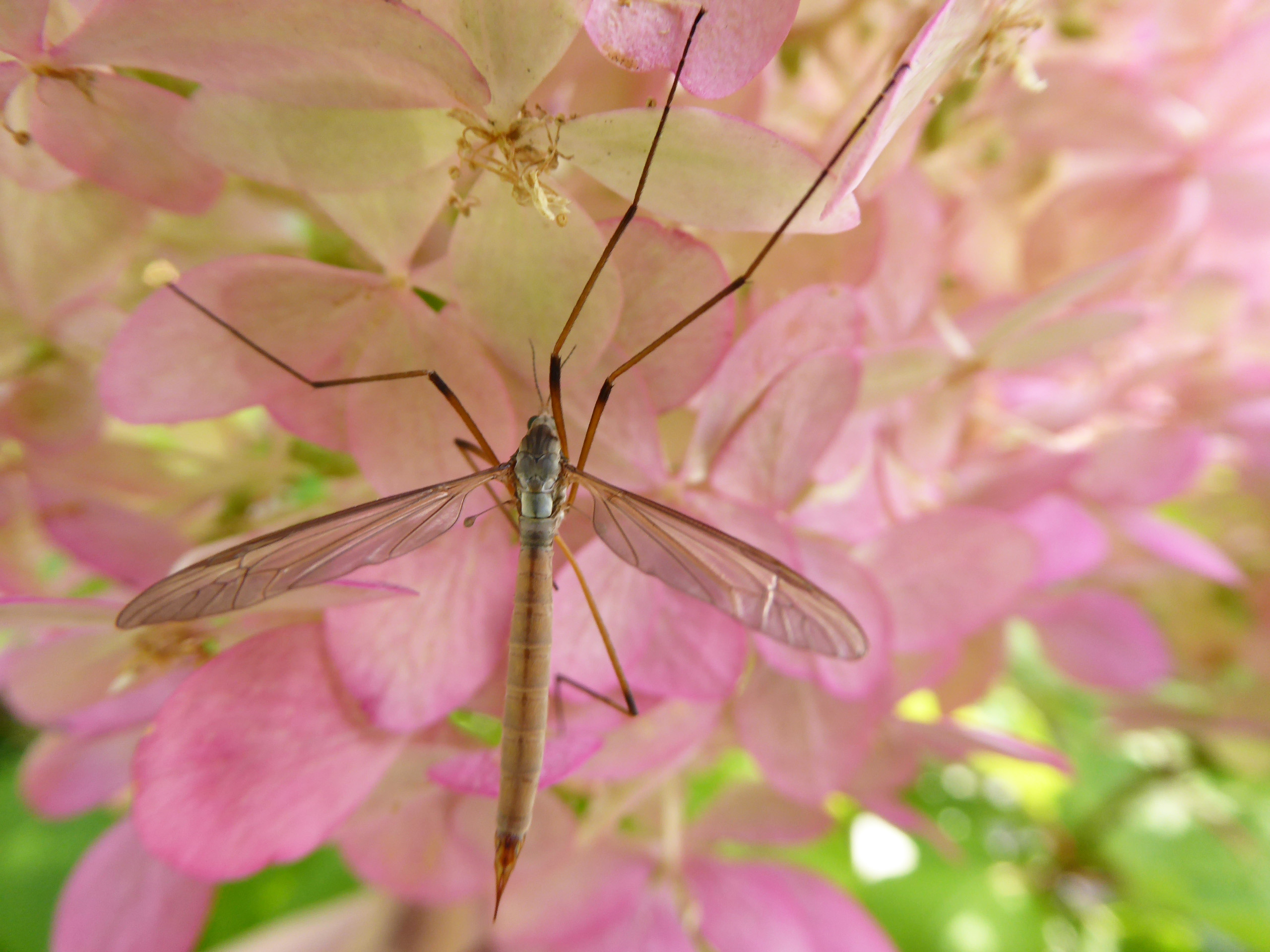 Daddy Long-Legs spider on Hydrangea
