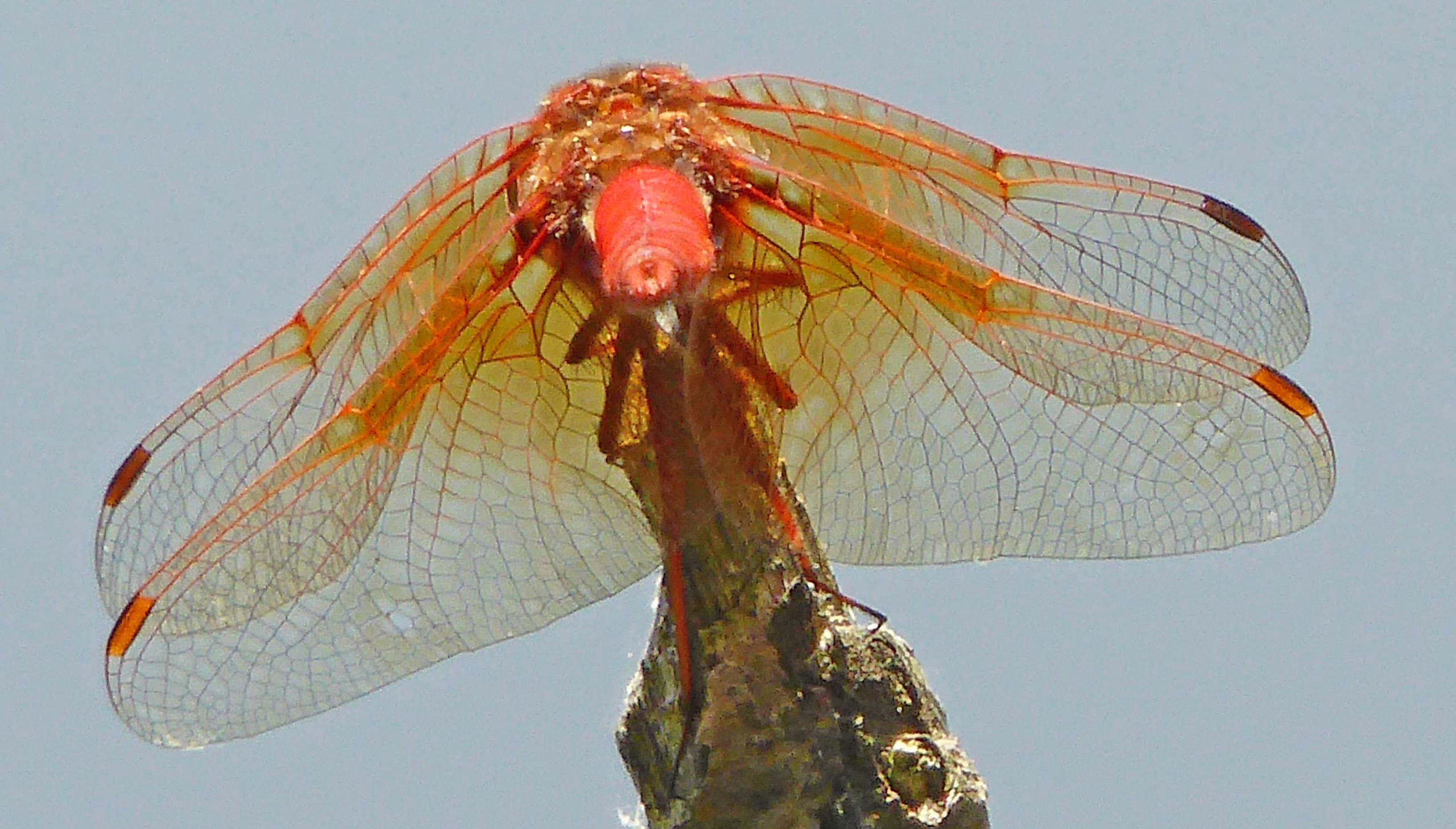 Cardinal Meadowhawk dragonfly
