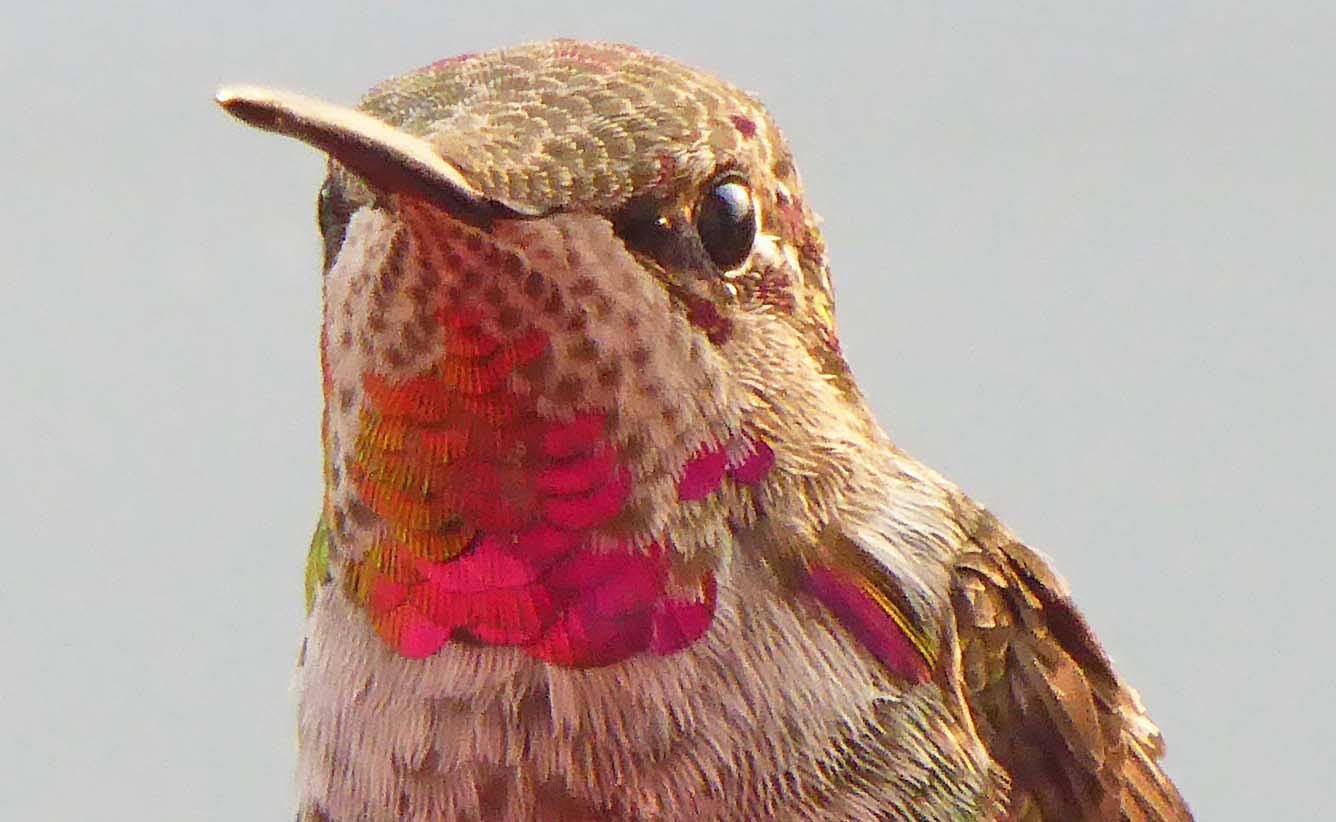 Anna's hummingbird ~ juvenile male