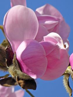 Big Magnolia blossom petals