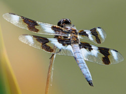 Skimmer dragonfly ~ adult male