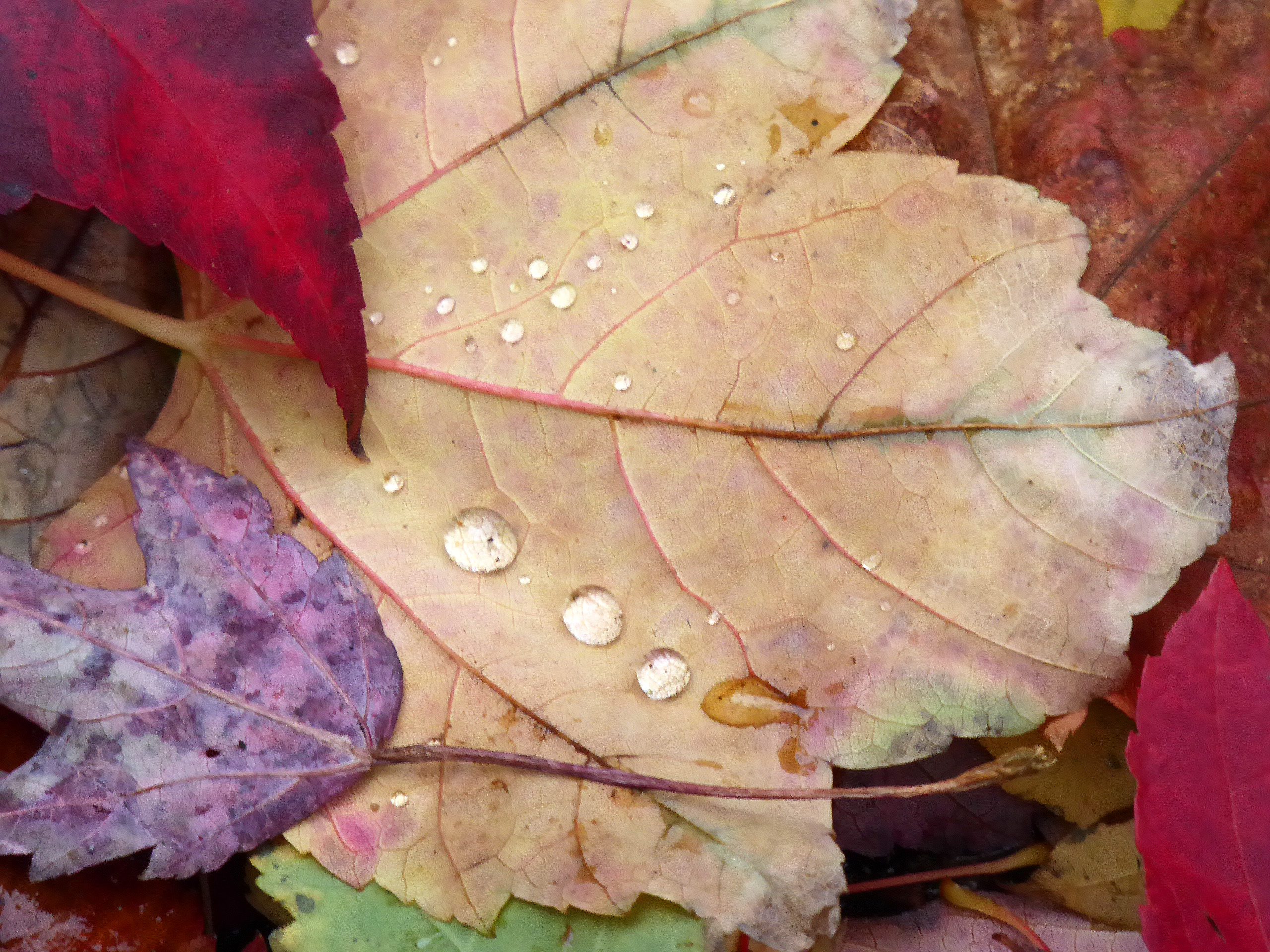 Water droplets on autumn leaves
