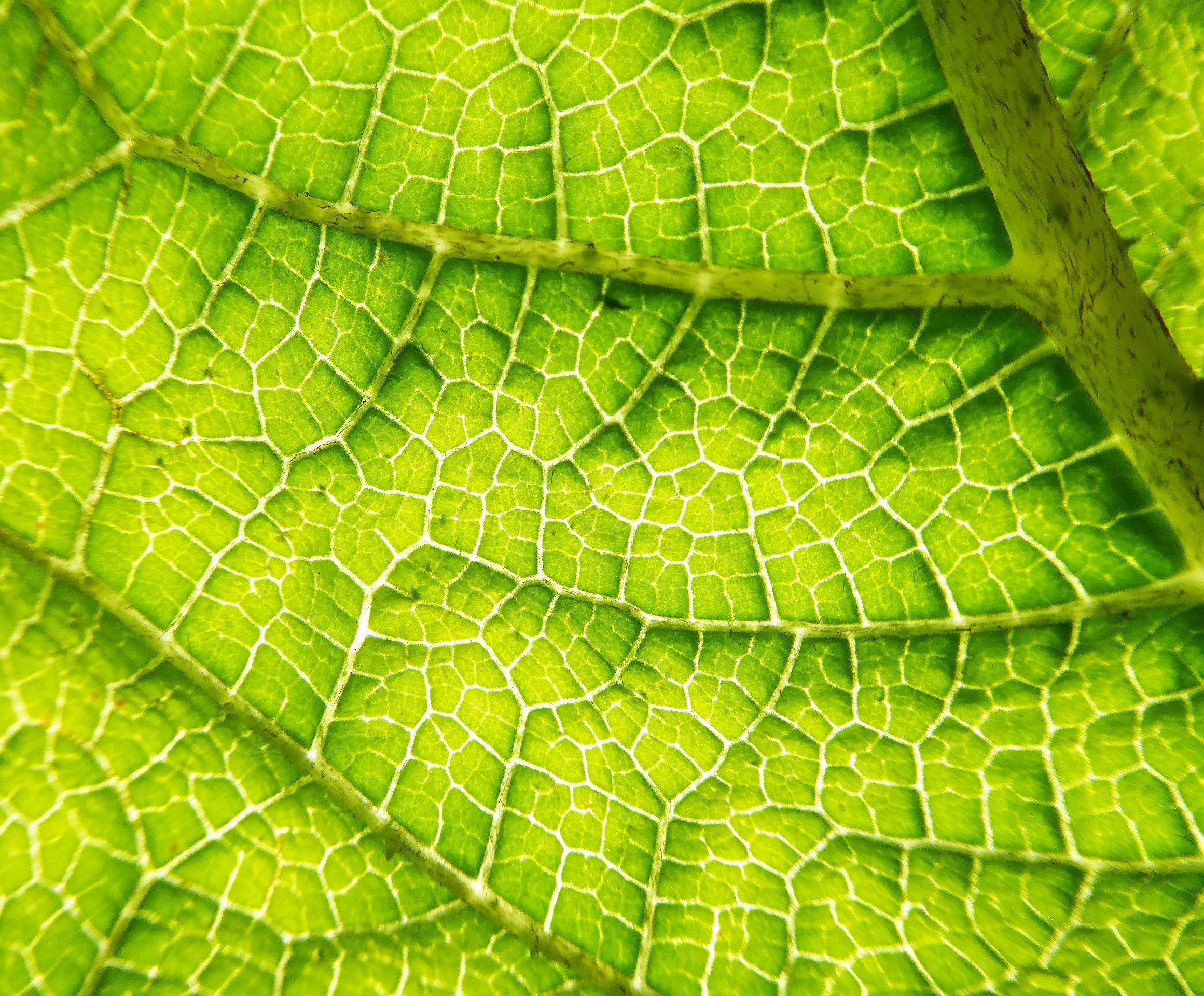 Giant Gunnera leaf
