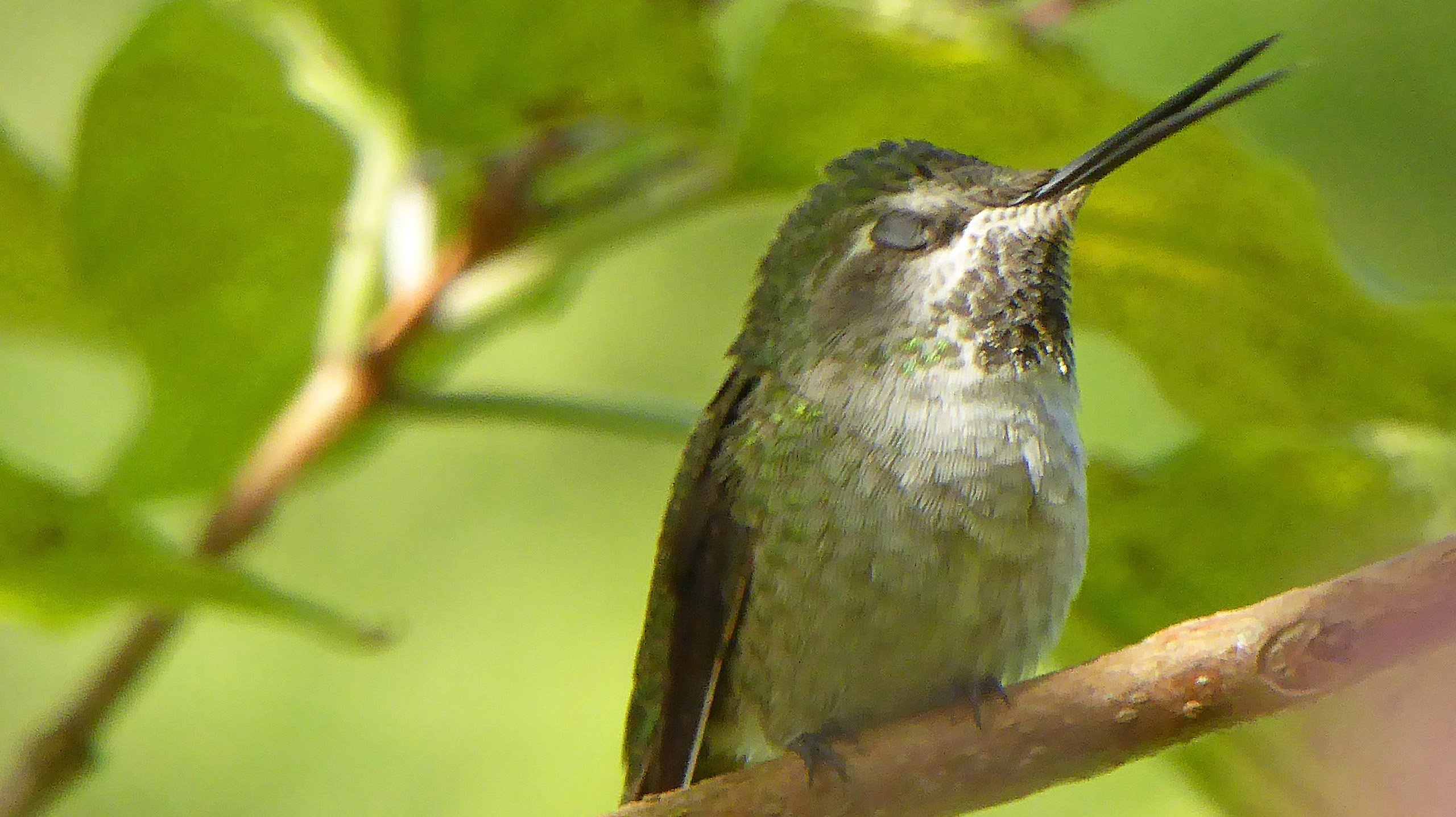 Anna's Hummingbird ~ female singing