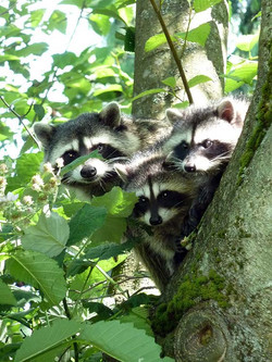 Mother Racoon and 2 cubs