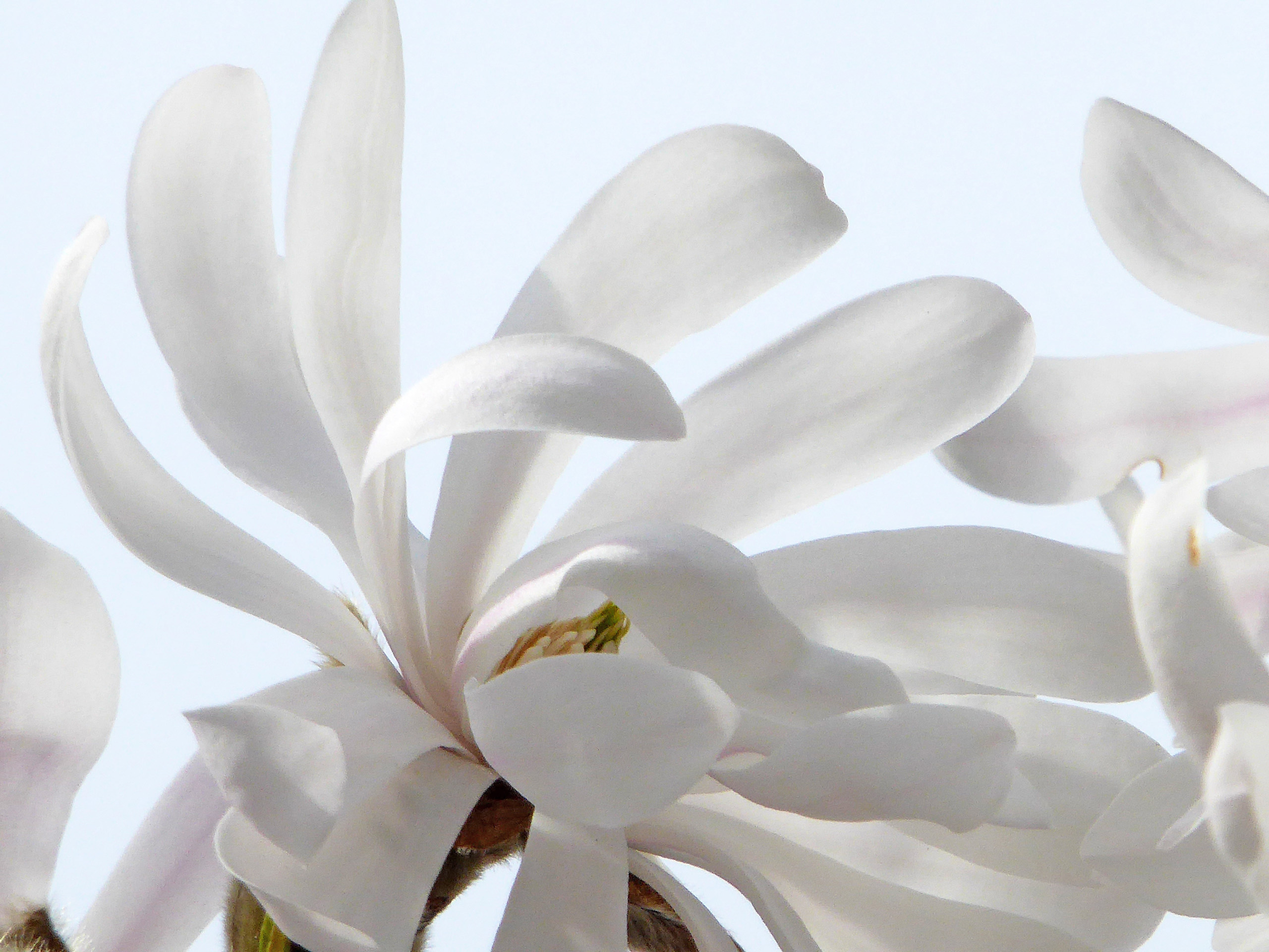 White Magnolia dancing