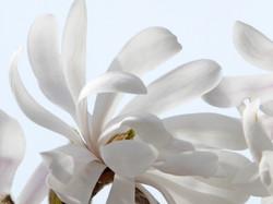 White Magnolia dancing