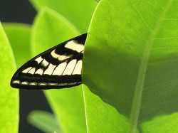 Pacific Swallowtail