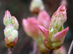 Rhododendron buds in November