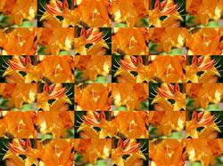 Rhododenron