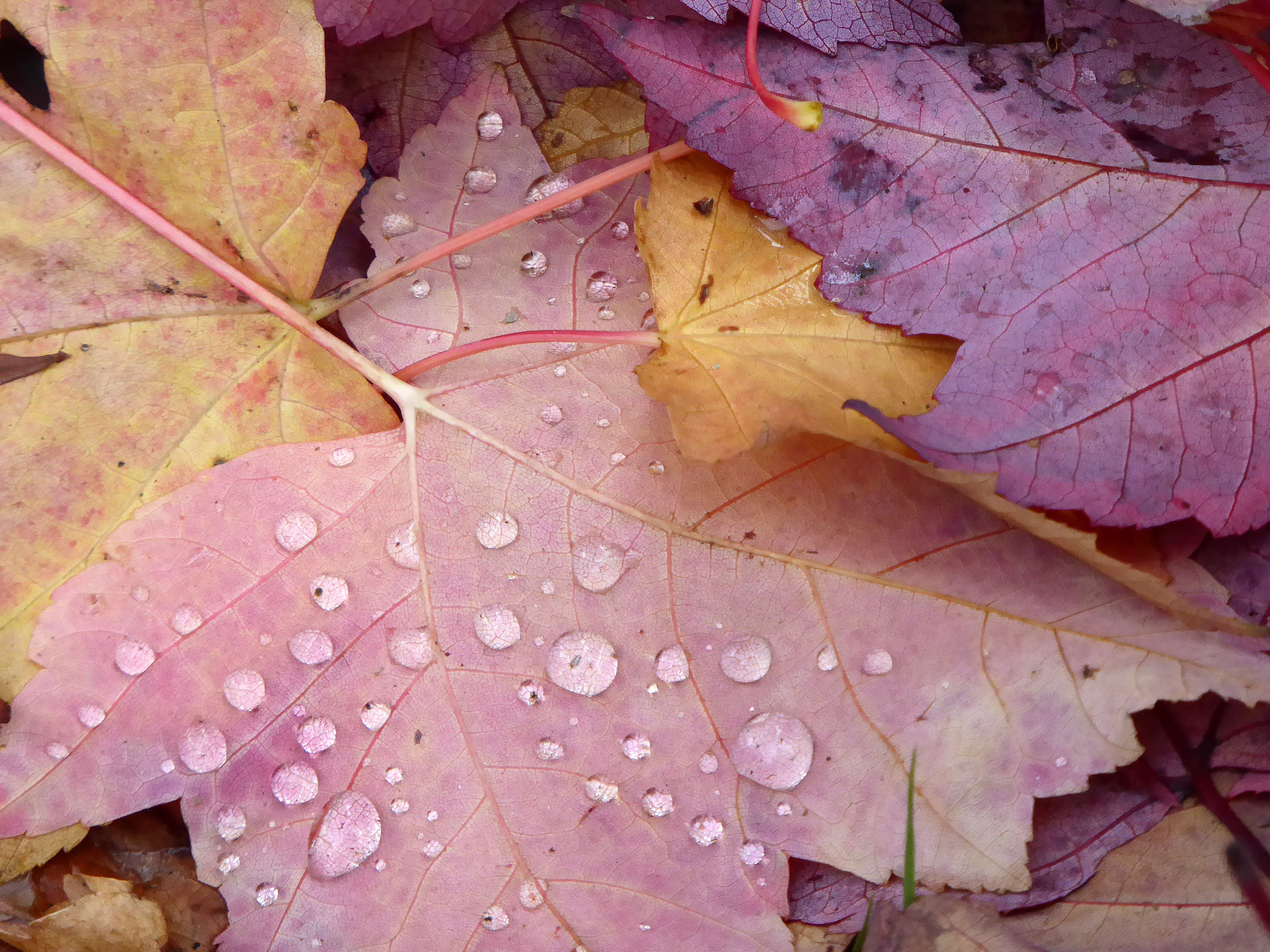 Rain drops on autumn leaves