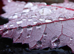 Raindrops on fall leaves