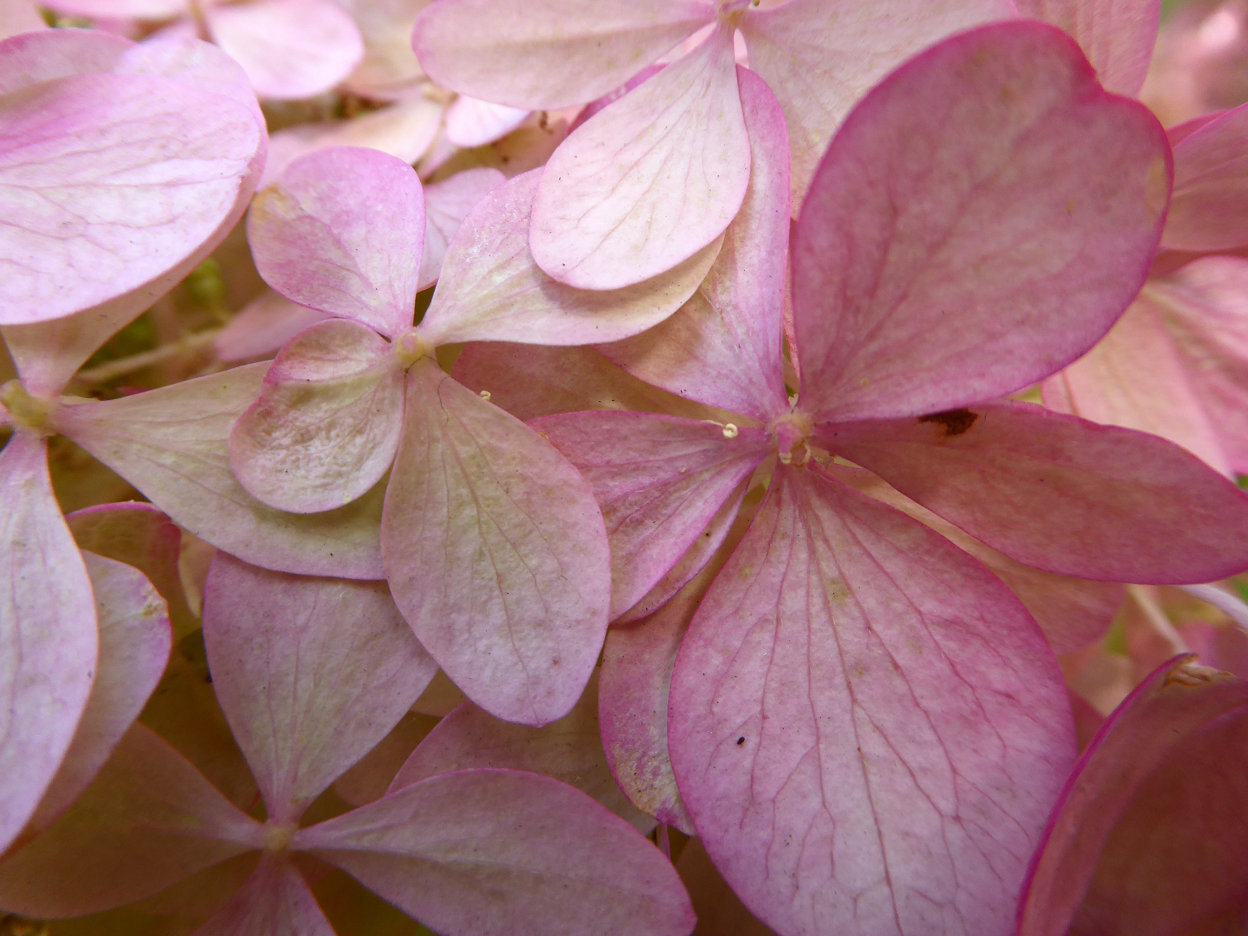 Late summer pink Limelight Hydrangea