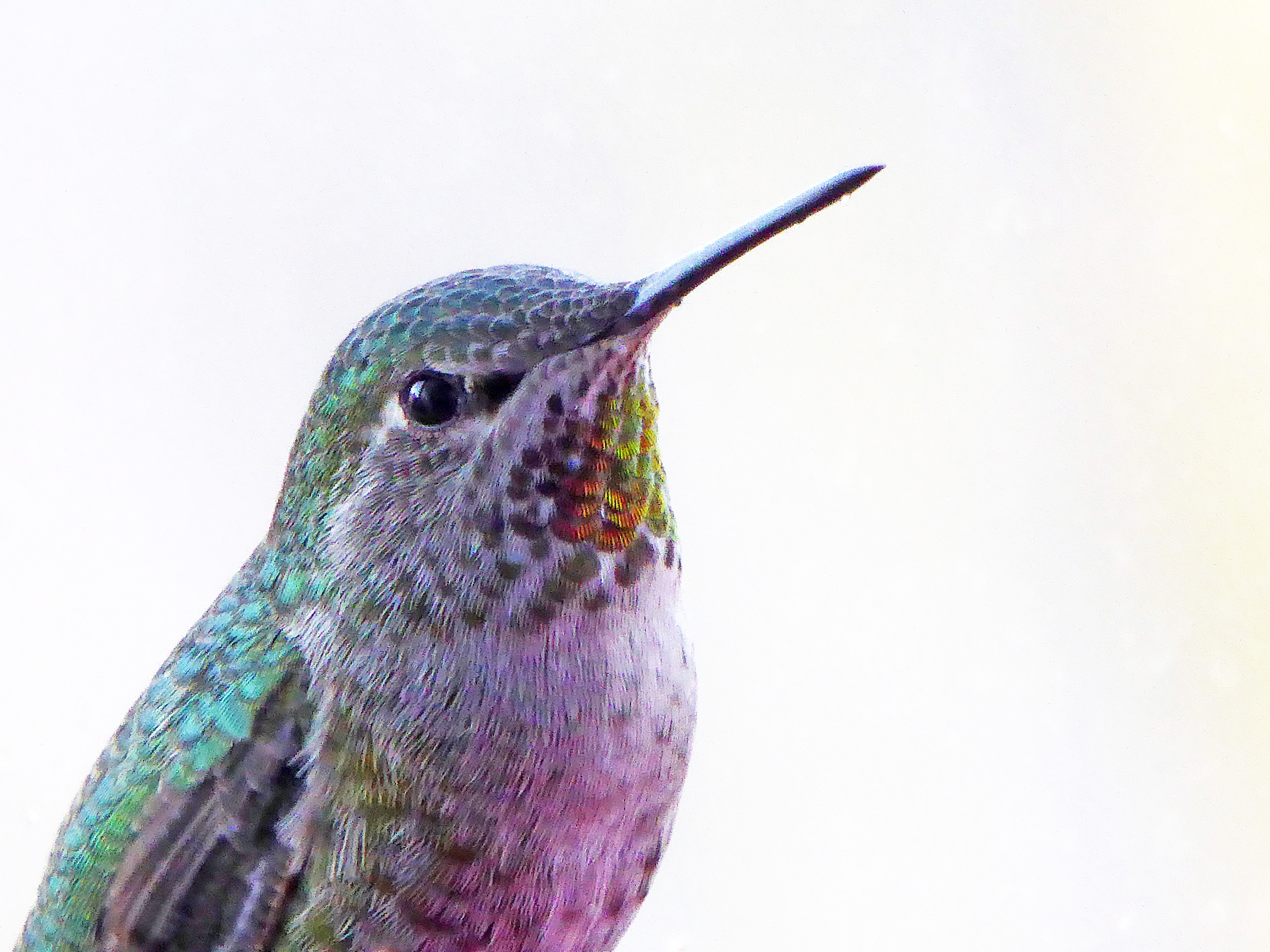 Anna's Hummingbird ~ female