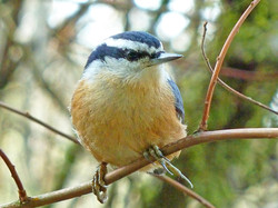 Red-breasted Nuthatch ~ adult male