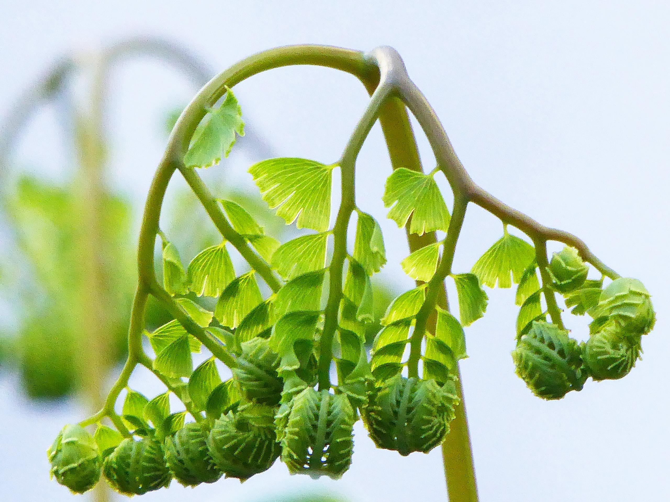 Fern buds
