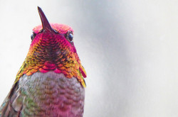 Anna's Hummingbird ~ adult male
