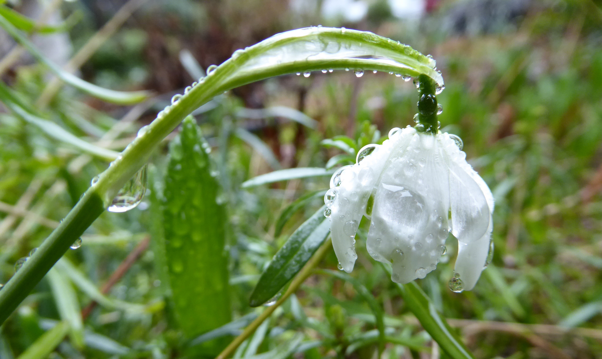 Snowdrop after the rain