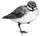 Wrybill illustration.jpg