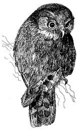 morepork illustration.jpg