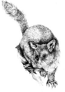 possum illustration.jpg