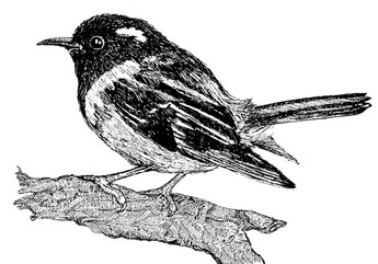 Stitchbird illustration.jpg