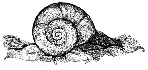 kauri snail.jpg