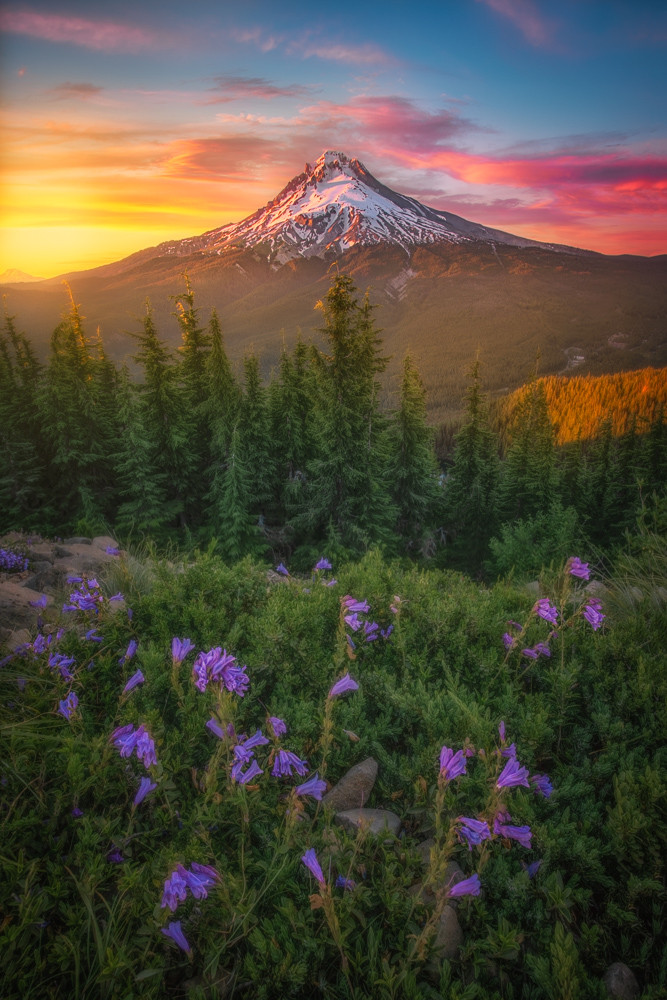 Mt. Hood sunset with purple flowers.