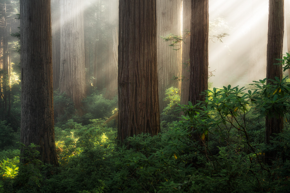 compelling compositions with redwoods light rays