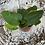 Thumbnail: Heart Leaf Fern - Pixie