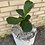 "Thumbnail: Fiddle Leaf Fig - 4"""