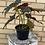 """Thumbnail: Angel Wing Begonia 6"""""""