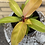 """Thumbnail: Philodendron Hybrid - Tangerine - 6"""" - NEW PLANT OF 2021"""