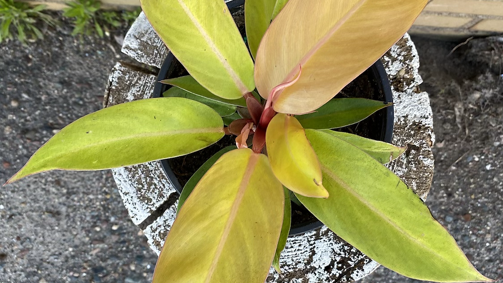 """Philodendron Hybrid - Tangerine - 6"""" - NEW PLANT OF 2021"""