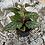 Thumbnail: Angel Wing Begonia - Pixie