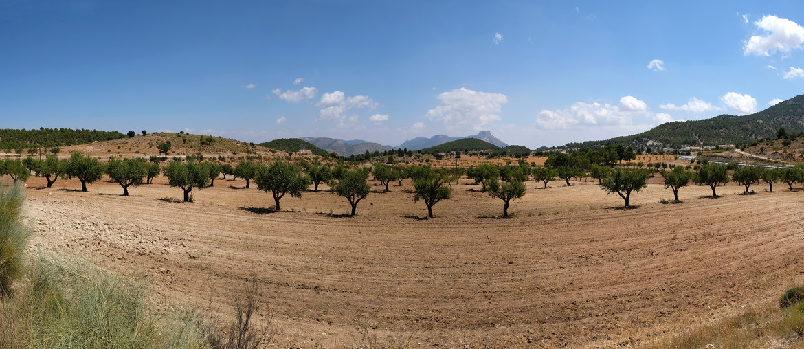 Oliven in Andalusien