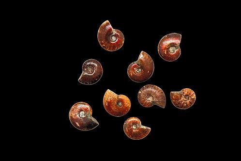 Tiny Ammonites