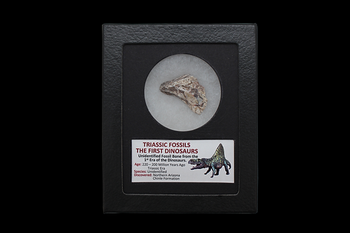 TRIASSIC FOSSIL - THE FIRST DINOSAURUS