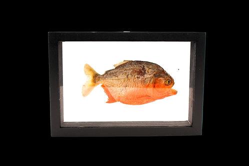Piranha Display