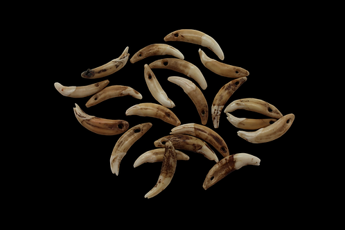 African Dog Tooth