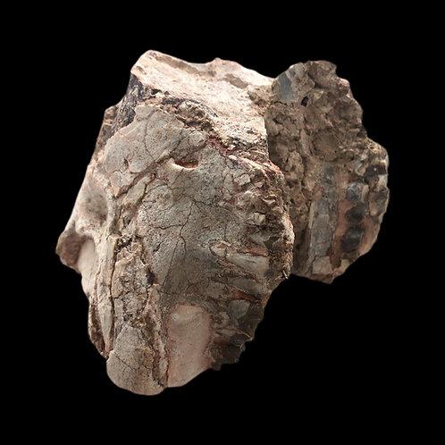Early Mammal Skull