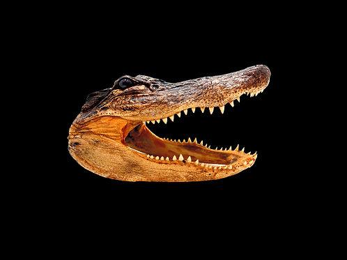 Large Alligator Head