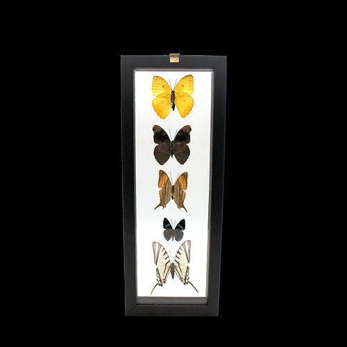 Five Butterfly Piece Display