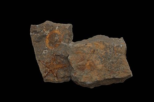 ANCIENT STARFISH FOSSIL